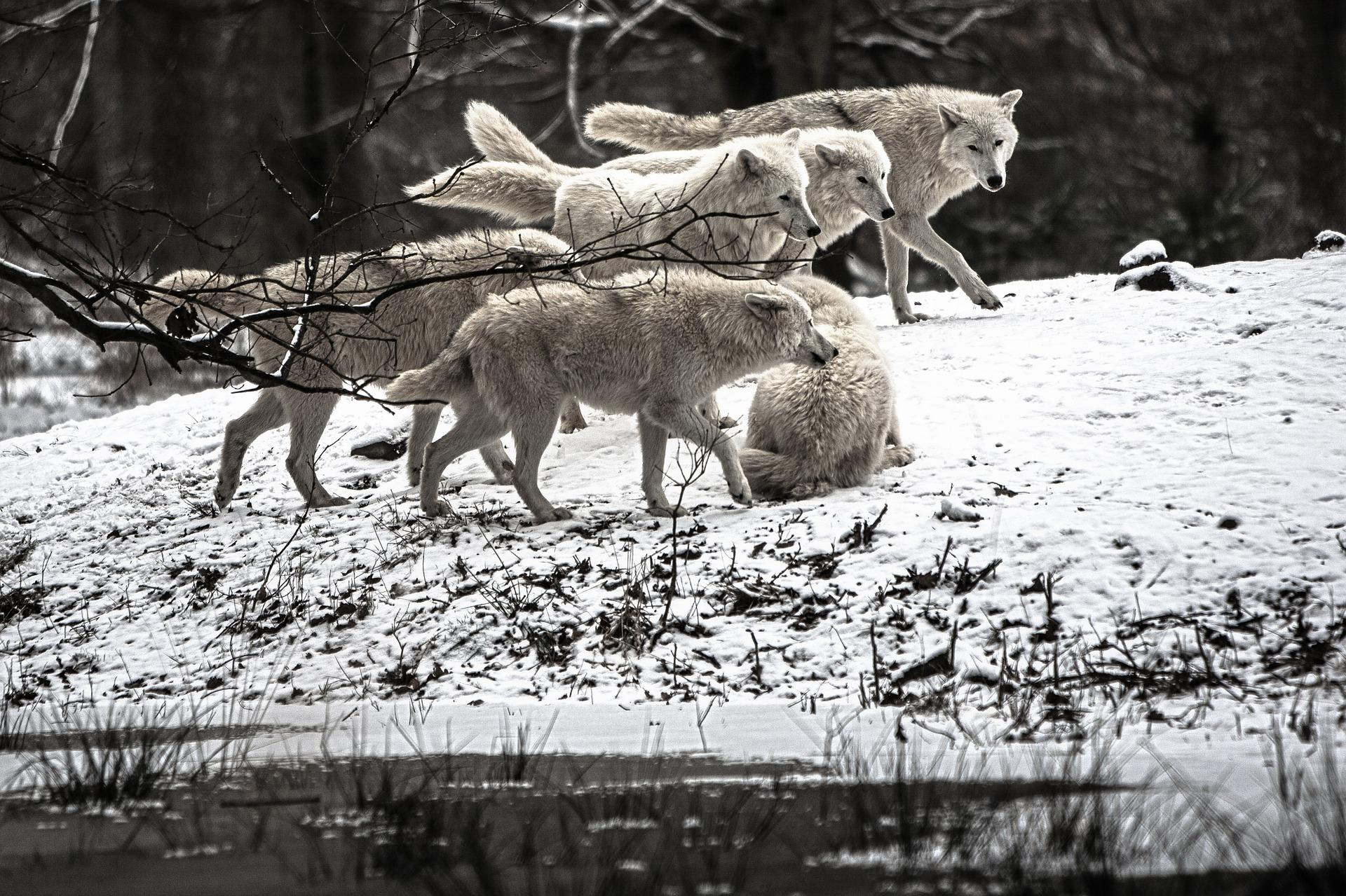 Стая голодных волков идёт в Сибирь из Казахстана - СИБ.ФМ