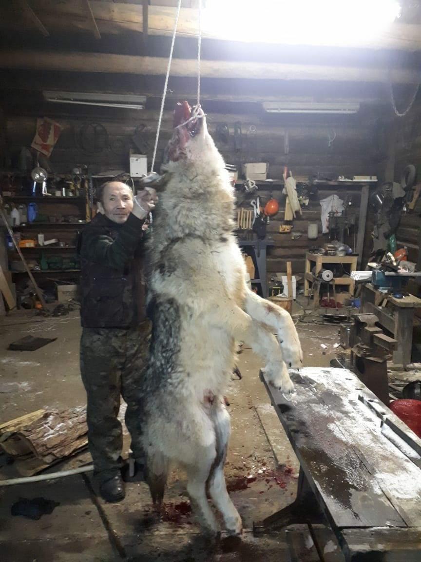 Фото Стая волков растерзала больше полусотни овец под Иркутском – видео 2