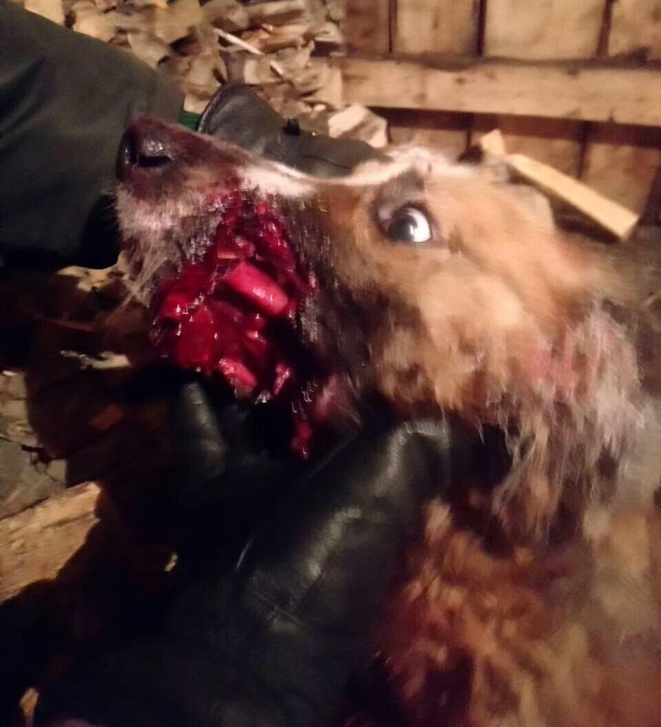 фото Живодёры в Кузбассе положили в пасть собаке петарду 2
