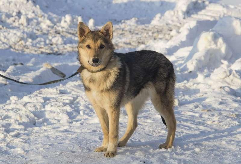 фото Мудрый Лаврик, боец Астра и скромница Лиса: собаки новосибирского приюта, которые уже сегодня могут осчастливить вас 10