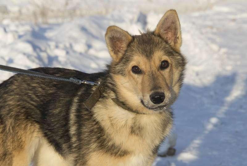 фото Мудрый Лаврик, боец Астра и скромница Лиса: собаки новосибирского приюта, которые уже сегодня могут осчастливить вас 9