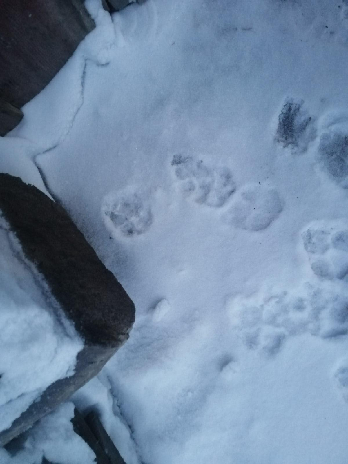 Фото Неизвестные следы на снегу пугают жителей Новосибирской области 2