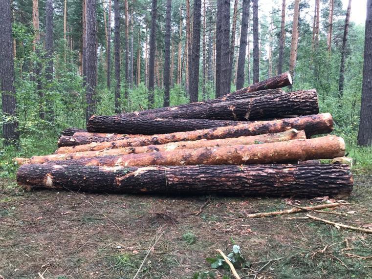 Фото В бору под Новосибирском задержали «чёрных лесорубов» 2