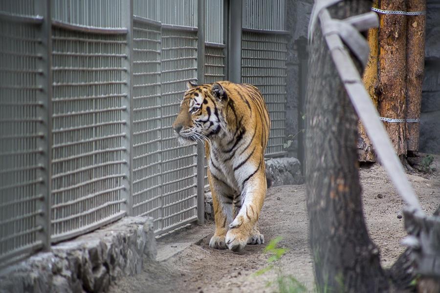Сегодня День тигра: какие виды содержатся в Новосибирском ...