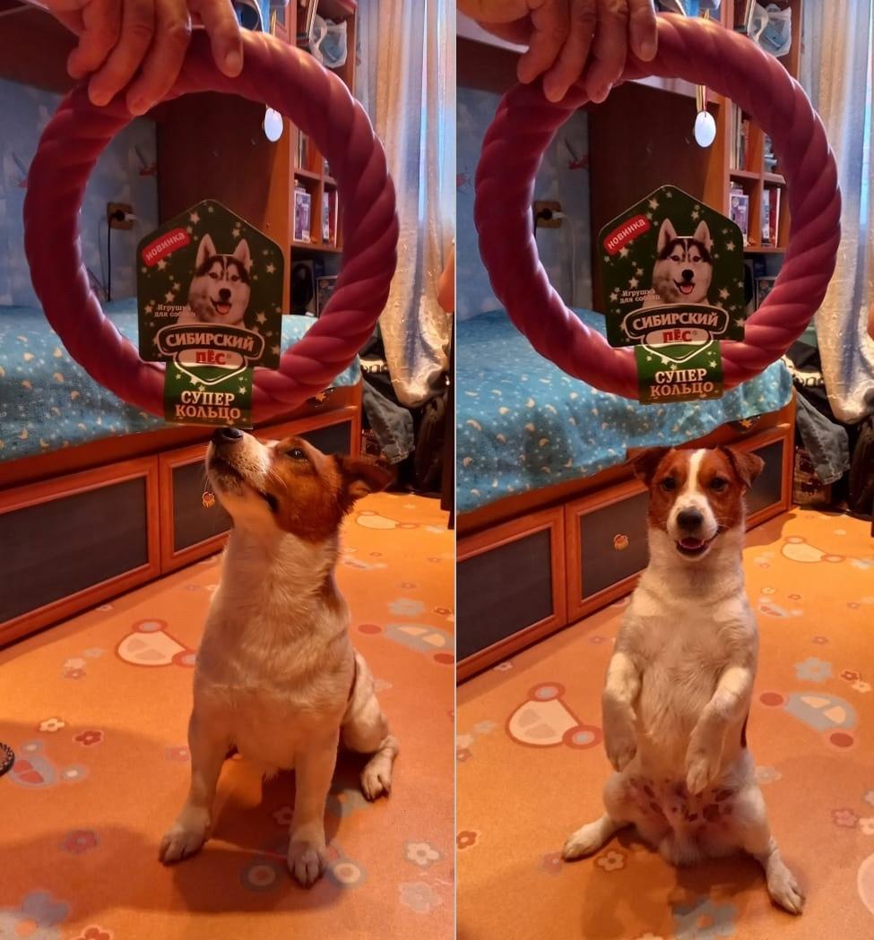 фото Винчестер-Ранго забрал свой приз в конкурсе «Главный пёсик Новосибирска» и забавляется с новой игрушкой 3