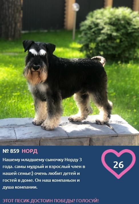 фото Бородач Норд, брутал Джекс и леди Майя соревнуются за звание лучшего в конкурсе «Главный пёсик Новосибирска» 2