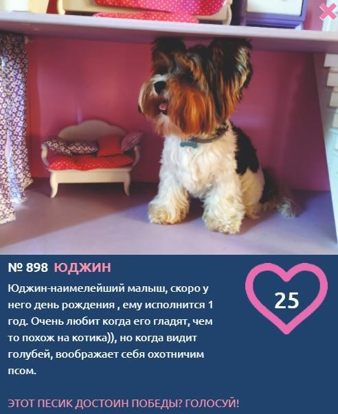 фото Участник конкурса «Главный пёсик Новосибирска» Юджин ждёт максимальное число «лайков» в свой День рождения 2