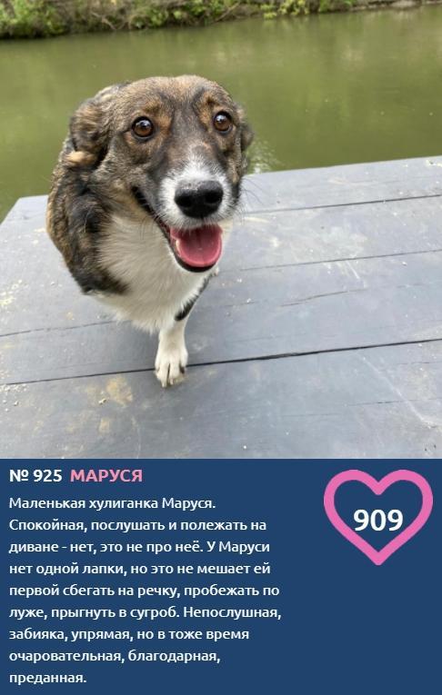 фото Жизнерадостная Маруся без одной лапки лидирует в конкурсе «Главный пёсик Новосибирска» 2