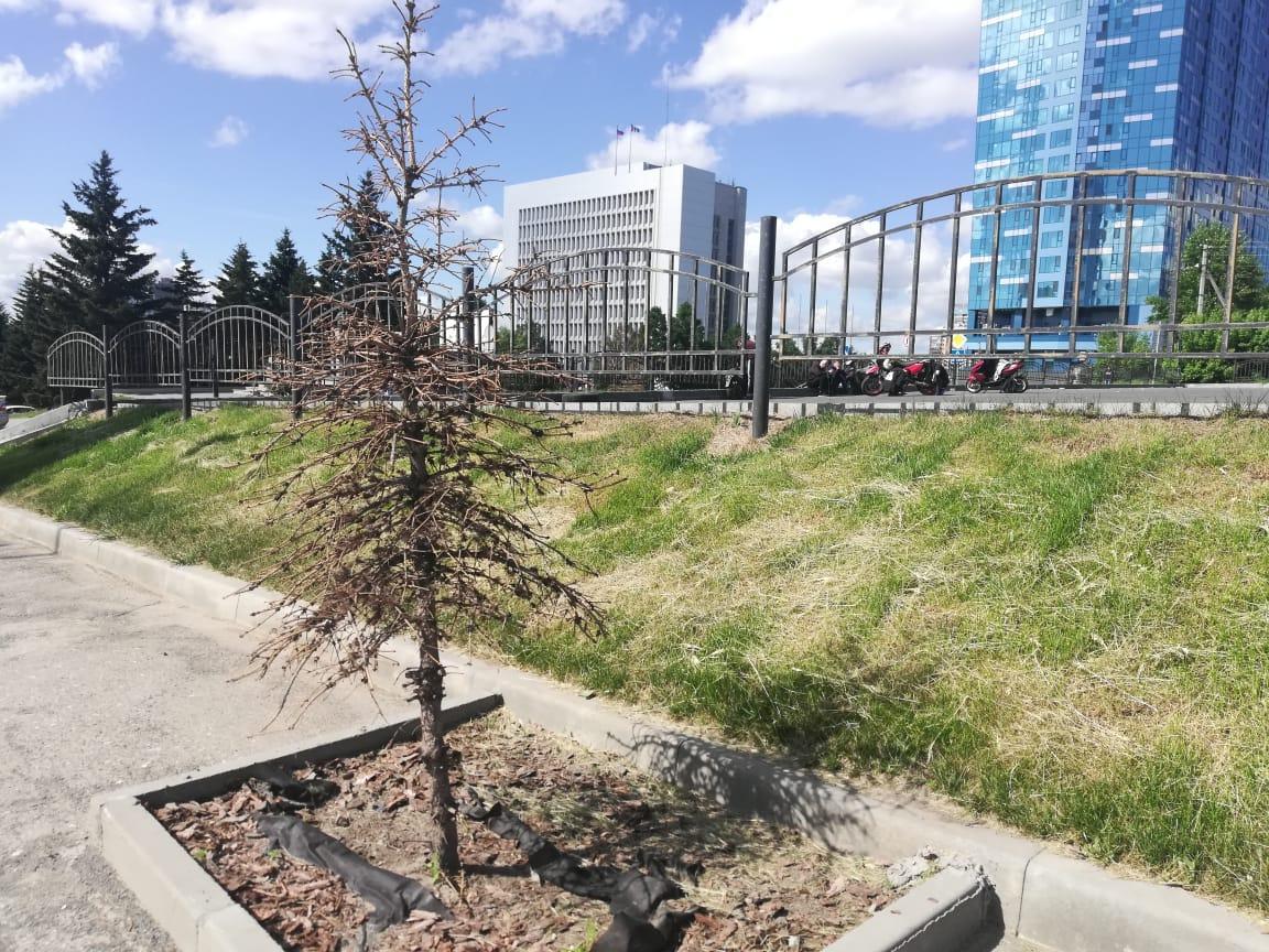 Фото Десятки погибающих голубых елей нашли в центре Новосибирска 3