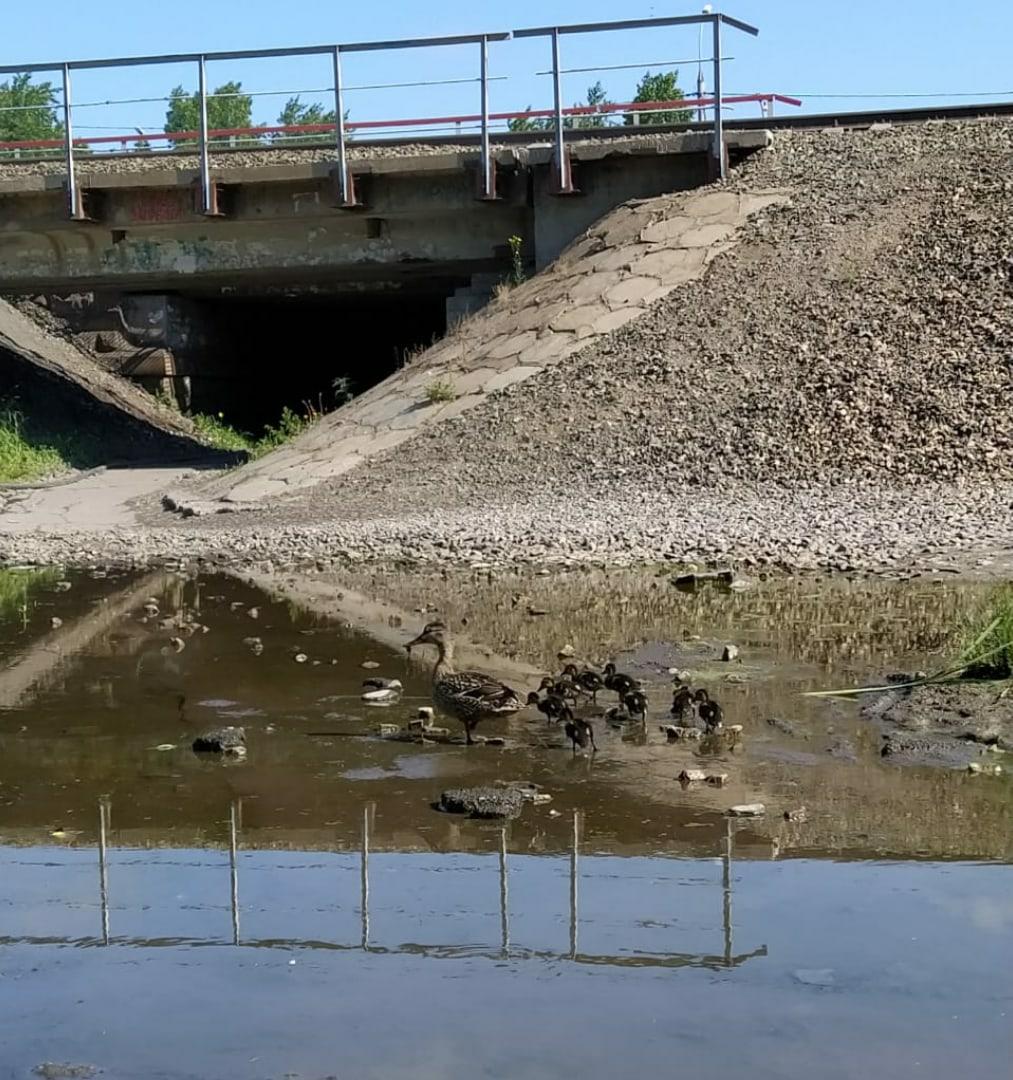 Фото Уже с птенцами: в затопленных переходах города Оби поселились утки 4