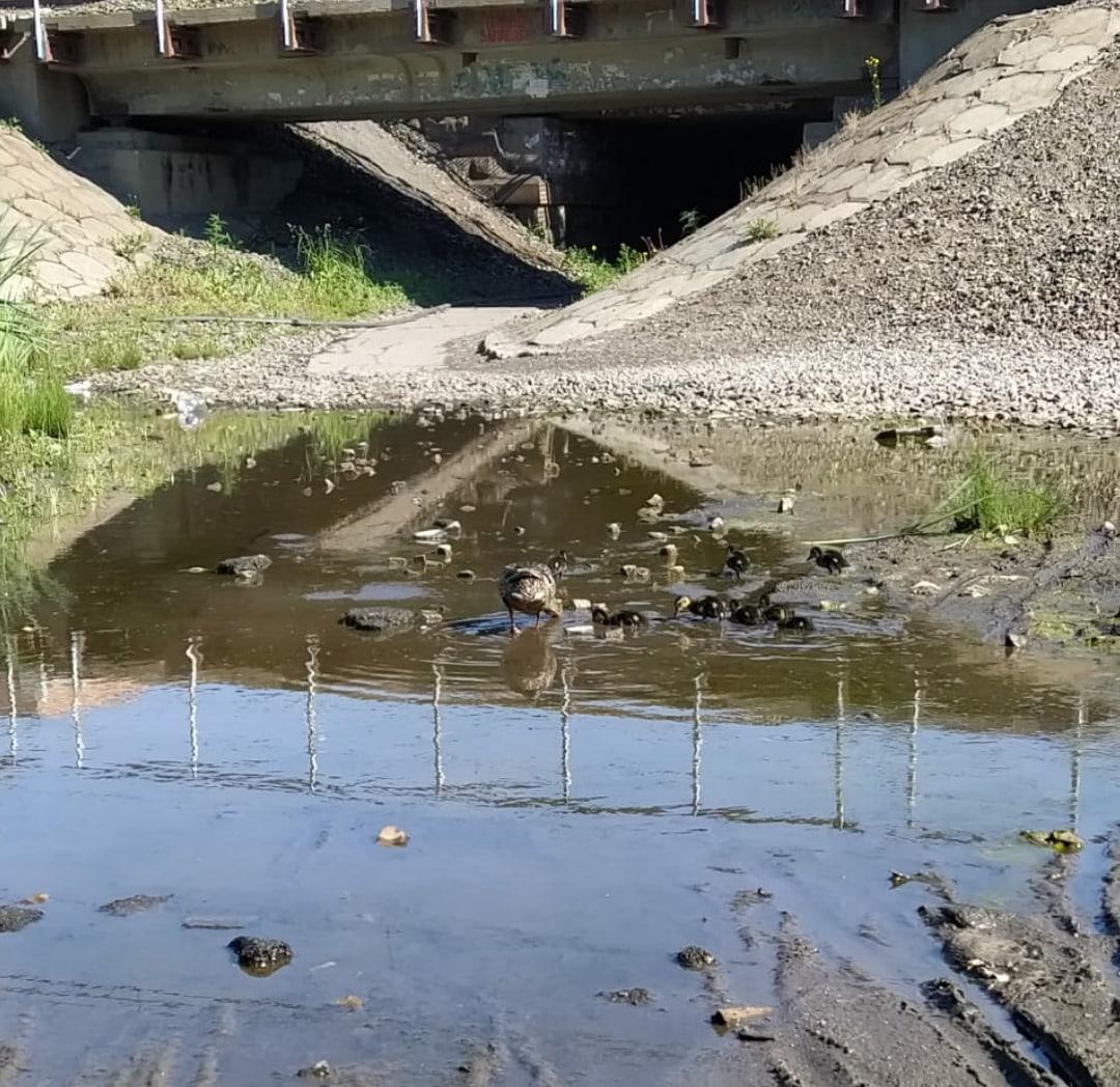 Фото Уже с птенцами: в затопленных переходах города Оби поселились утки 5