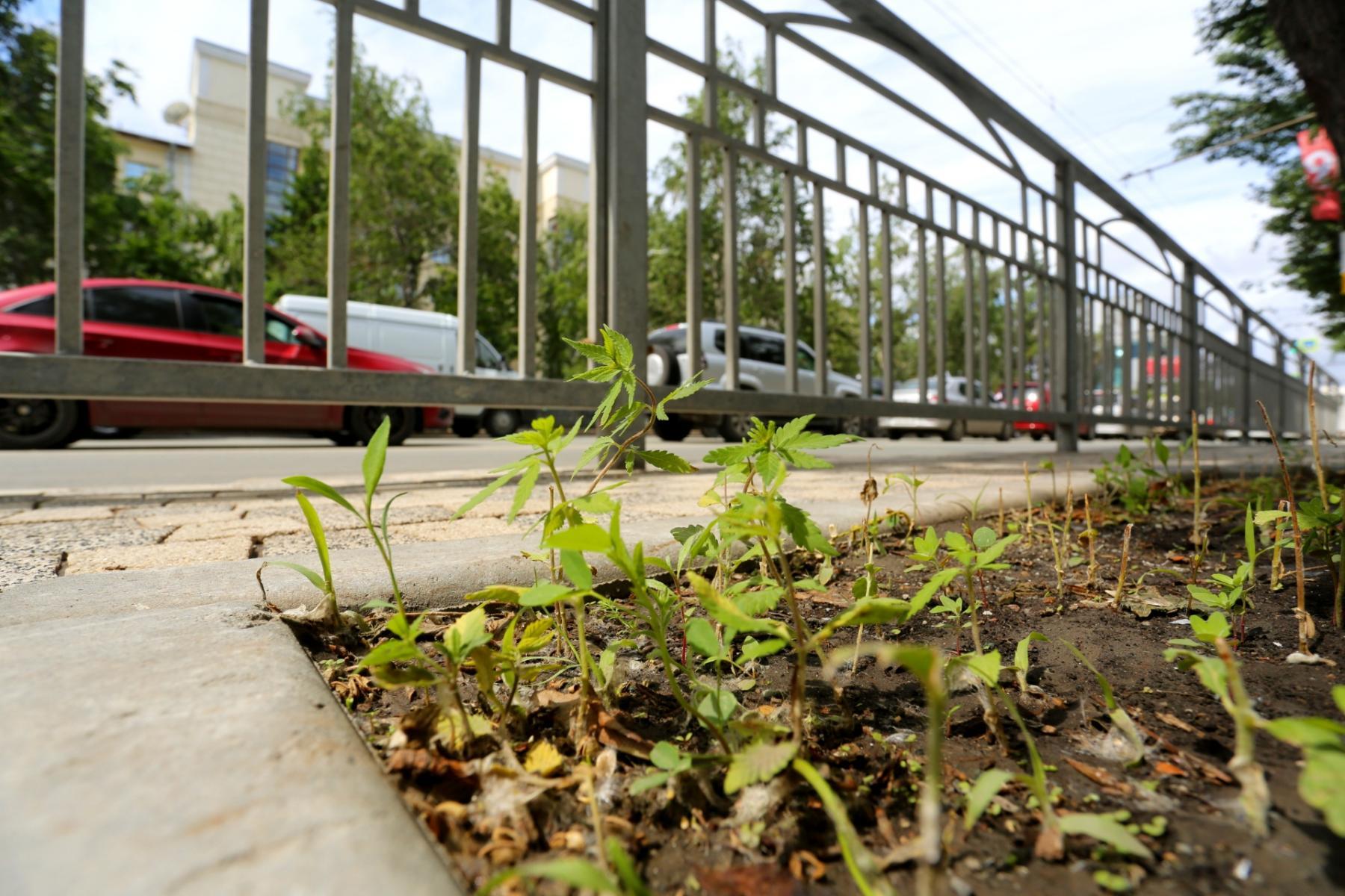 фото Свеженькая взошла: в центре Новосибирска вновь появилась конопля 5