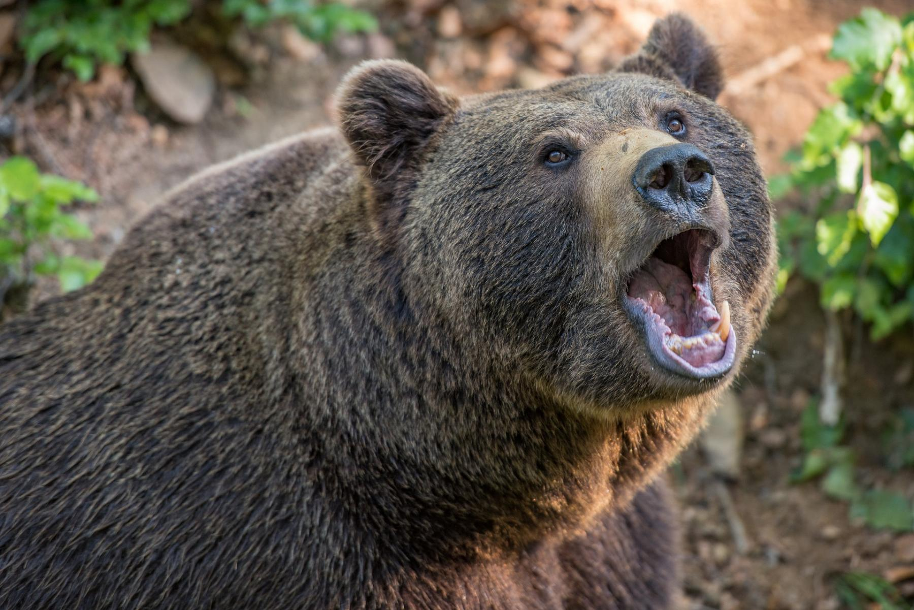 фото Медведь двое суток держал в заложниках семейную пару в Иркутской области 2