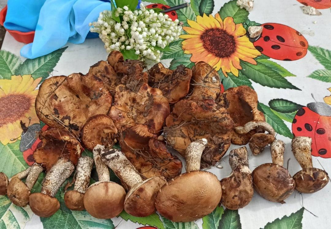 Фото Белые грибы, подберёзовики и коровники появились в лесах Новосибирска 2