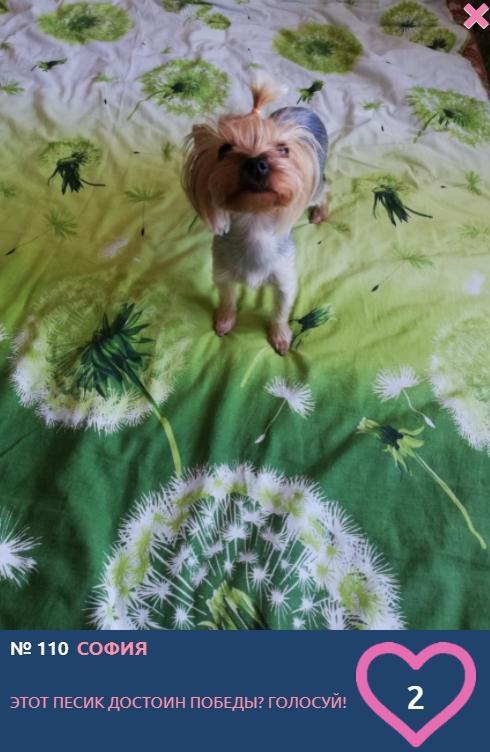 Фото «Сама милота, красота и доброта»: более 20 фотоснимков маленьких участников конкурса «Главный пёсик Новосибирска» 6