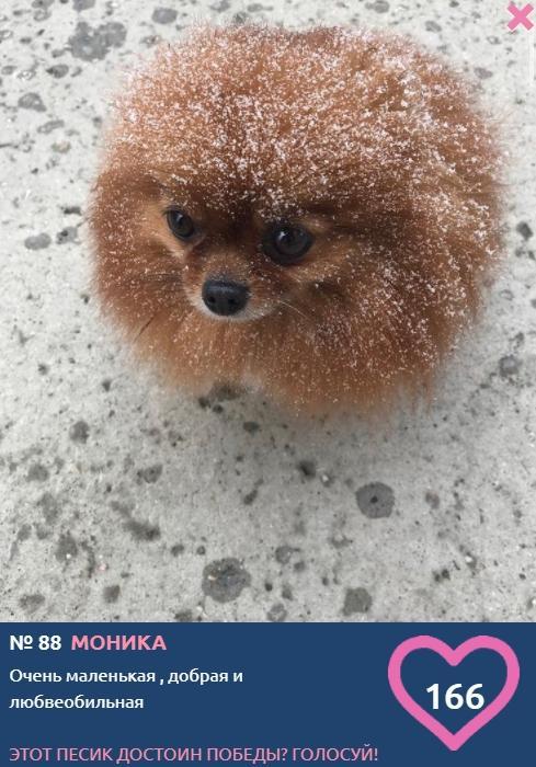 Фото «Сама милота, красота и доброта»: более 20 фотоснимков маленьких участников конкурса «Главный пёсик Новосибирска» 8