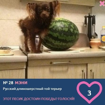 Фото «Сама милота, красота и доброта»: более 20 фотоснимков маленьких участников конкурса «Главный пёсик Новосибирска» 18