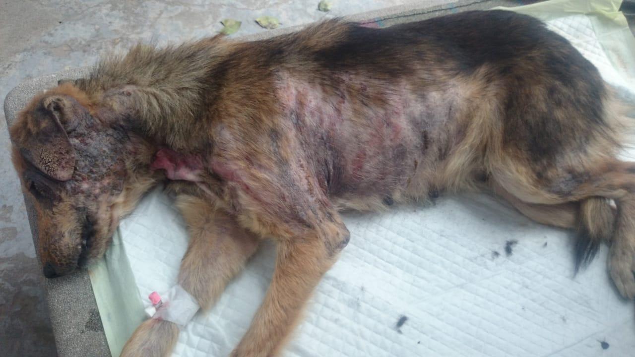 фото «Ад, на который психически здоровый человек не сможет смотреть»: зачем новосибирцы спасают бродячих собак в Абхазии и Индии 4