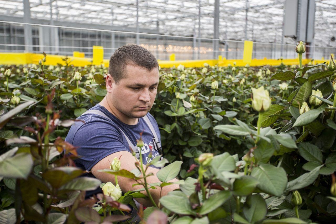 Фото Райский остров в заснеженной Сибири: как выращивают розы в новосибирской теплице и можно ли сделать это на подоконнике 6