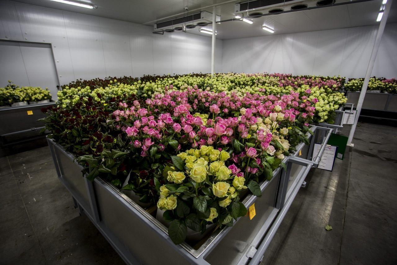 Фото Райский остров в заснеженной Сибири: как выращивают розы в новосибирской теплице и можно ли сделать это на подоконнике 2