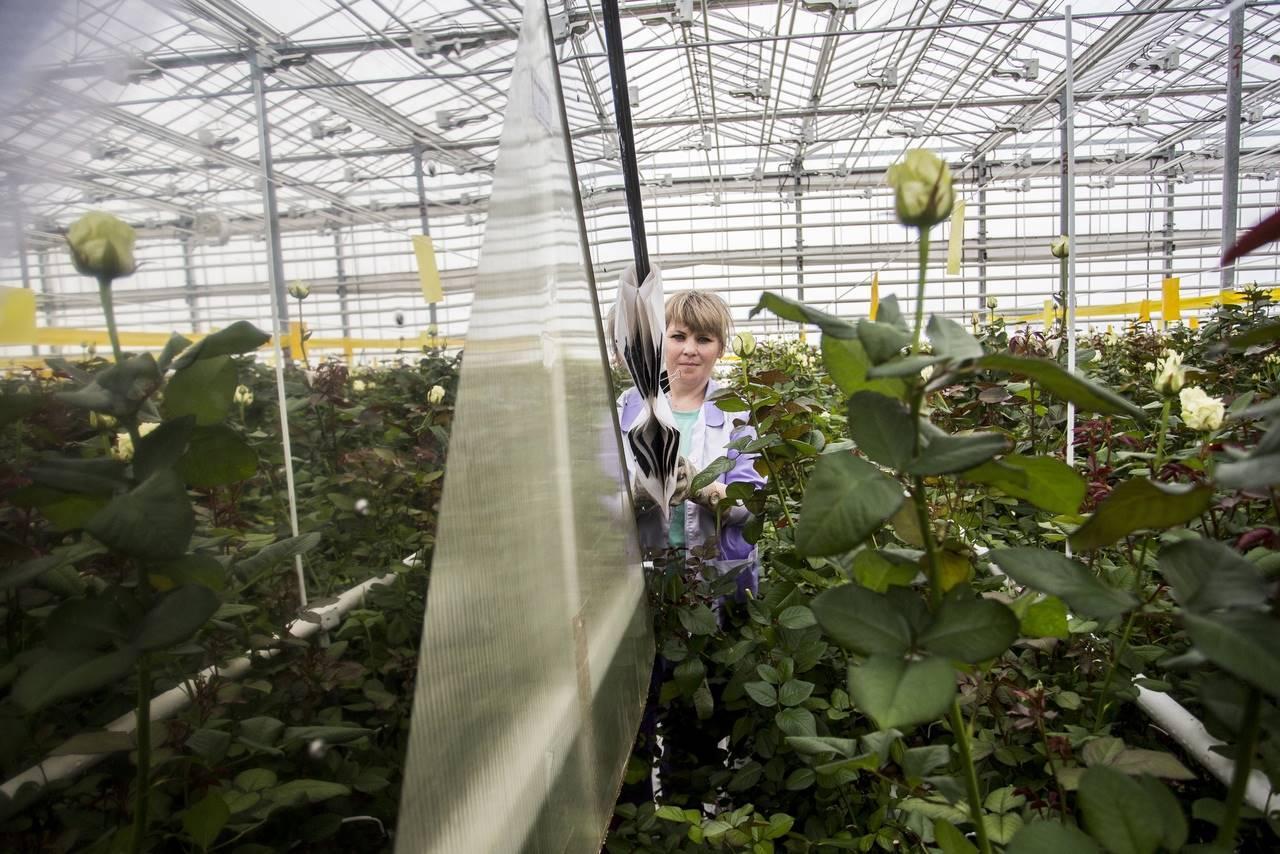 Фото Райский остров в заснеженной Сибири: как выращивают розы в новосибирской теплице и можно ли сделать это на подоконнике 7