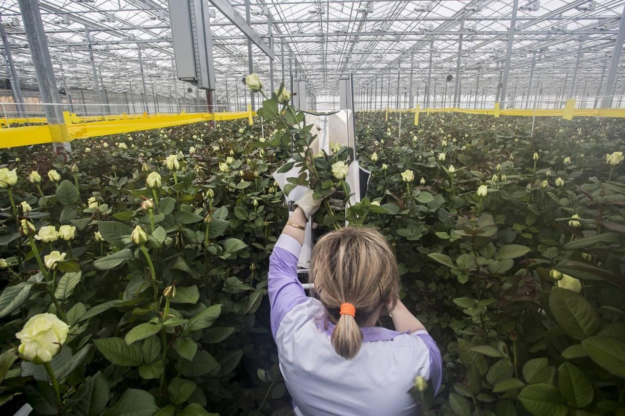 Фото Райский остров в заснеженной Сибири: как выращивают розы в новосибирской теплице и можно ли сделать это на подоконнике 3