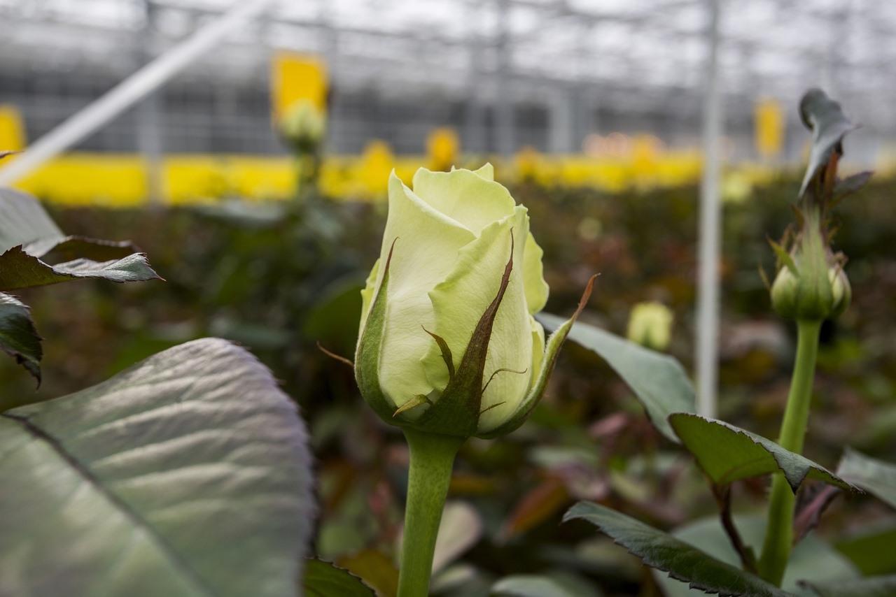 Фото Райский остров в заснеженной Сибири: как выращивают розы в новосибирской теплице и можно ли сделать это на подоконнике 4