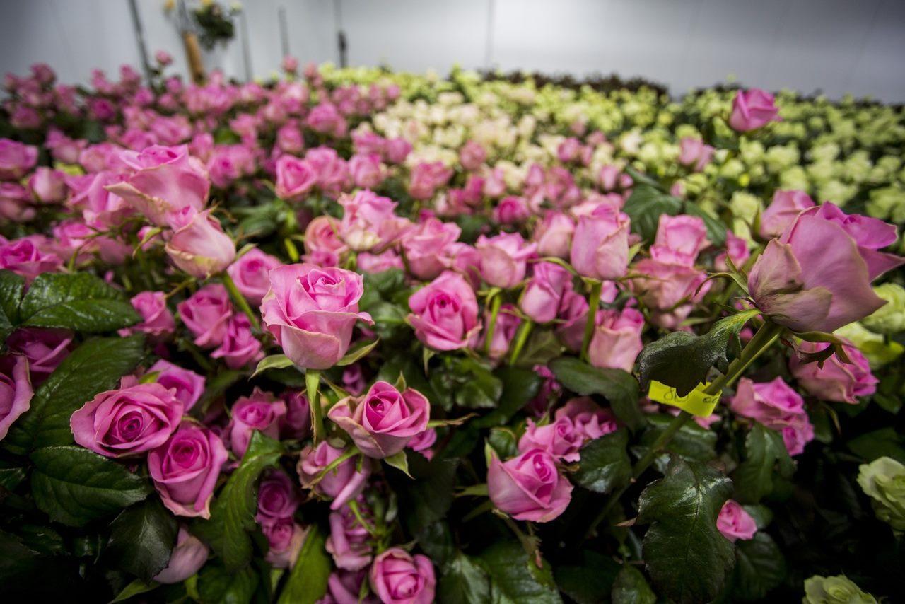 как выращивать розы в теплице