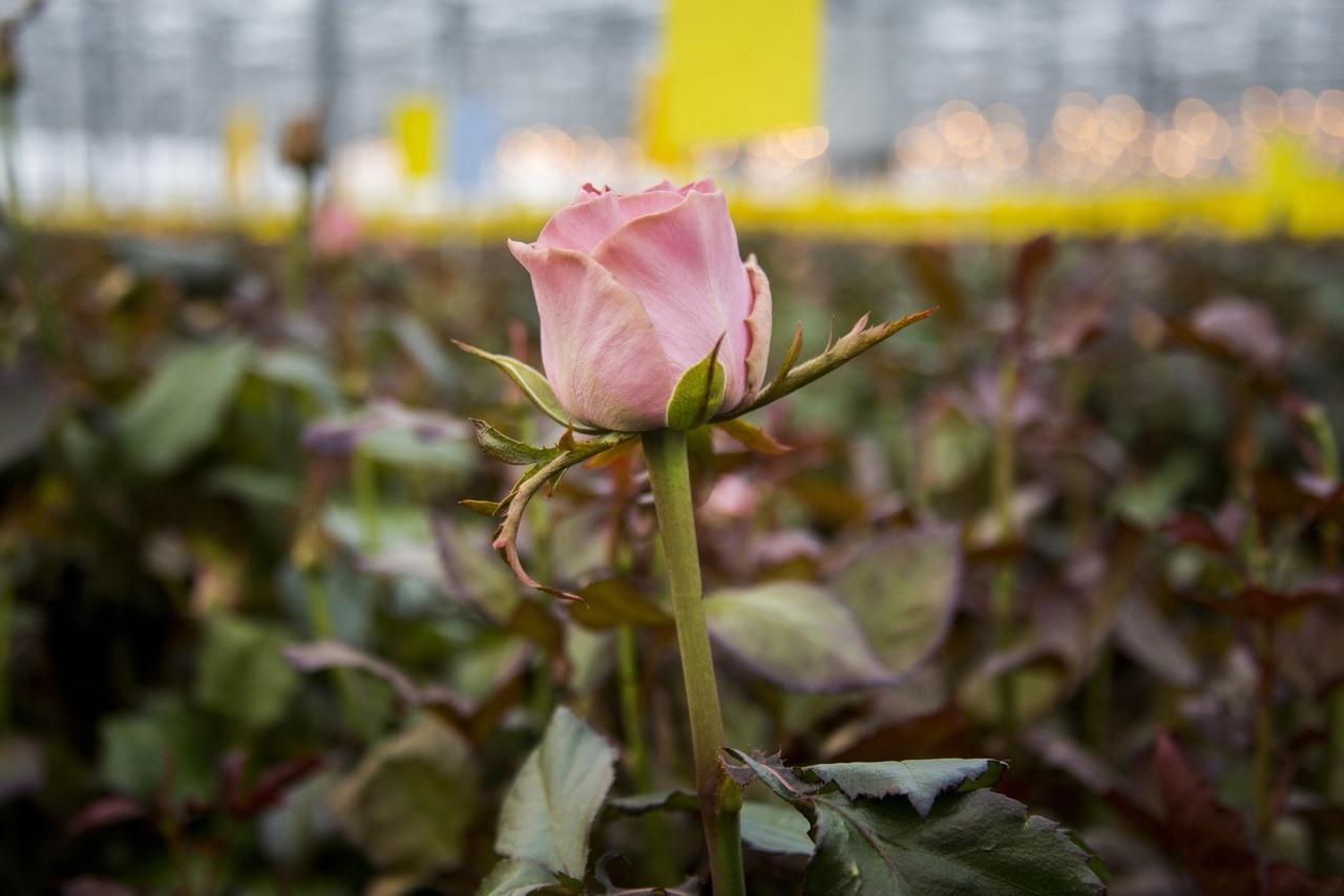 Фото Райский остров в заснеженной Сибири: как выращивают розы в новосибирской теплице и можно ли сделать это на подоконнике 11