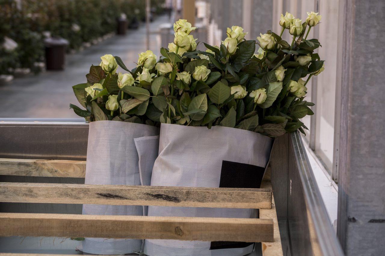 Фото Райский остров в заснеженной Сибири: как выращивают розы в новосибирской теплице и можно ли сделать это на подоконнике 9