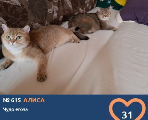 Фото Усатые тяжеловесы: знакомимся с упитанными участниками конкурса «Главный котик Новосибирска – 2021» 8