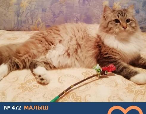 Фото Усатые тяжеловесы: знакомимся с упитанными участниками конкурса «Главный котик Новосибирска – 2021» 11
