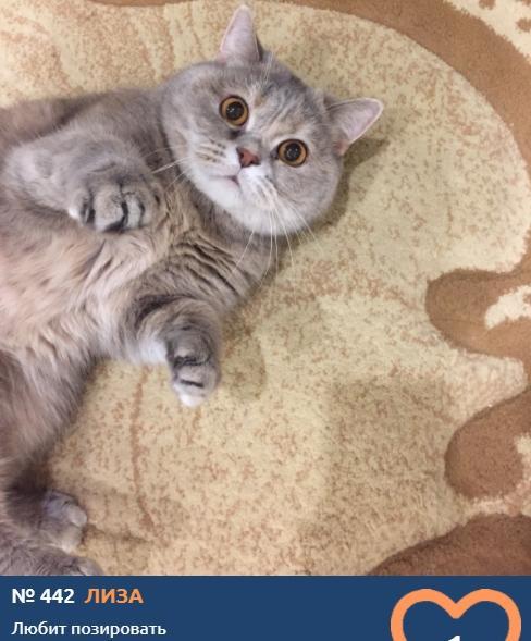 Фото Усатые тяжеловесы: знакомимся с упитанными участниками конкурса «Главный котик Новосибирска – 2021» 14