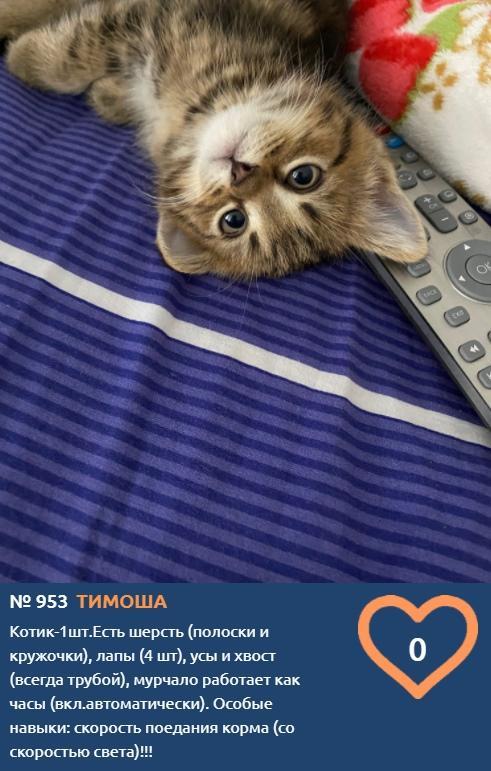 Фото Тигры, которых можно погладить: знакомим с самыми красивыми участниками конкурса «Главный котик Новосибирска» 4