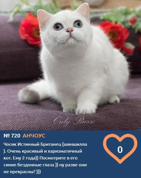 Фото Тигры, которых можно погладить: знакомим с самыми красивыми участниками конкурса «Главный котик Новосибирска» 8