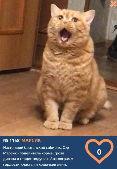фото Говорящие коты и кошки: забавные фото участников конкурса «Главный котик Омска» 5
