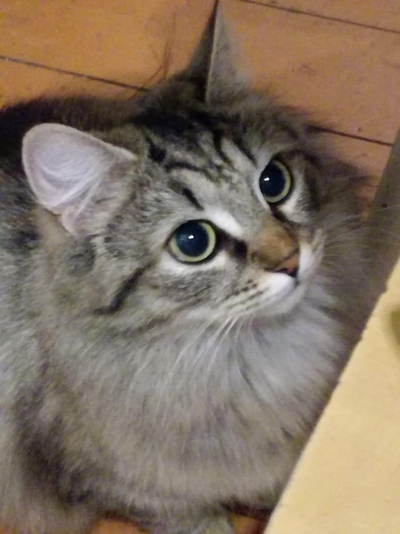 фото Непоседа Рыся стала первой победительницей недели в конкурсе «Главный котик Новосибирска» 3