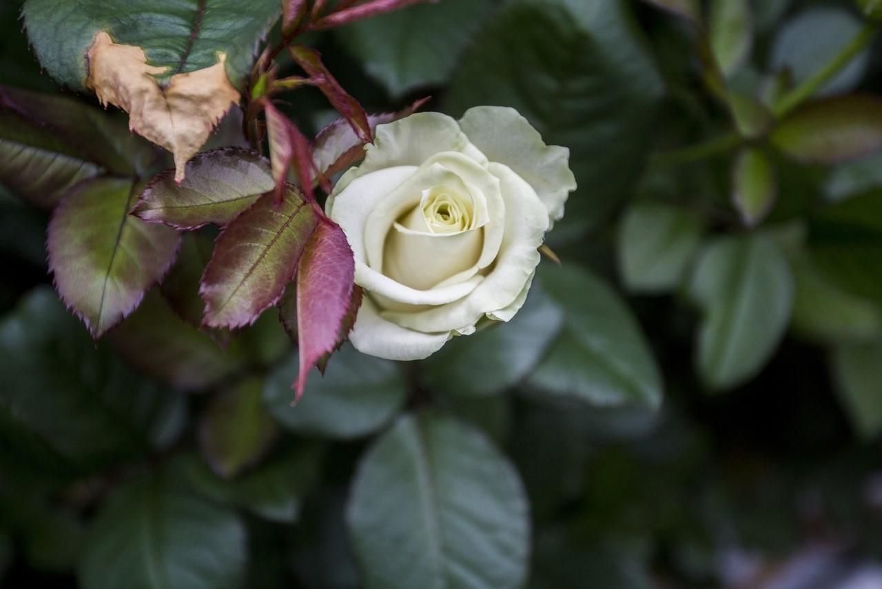 Фото Райский остров в заснеженной Сибири: как выращивают розы в новосибирской теплице и можно ли сделать это на подоконнике 8