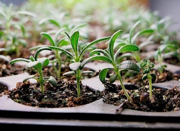 Фото Баклажаны по 40, малина по 80: новосибирцы скупают рассаду к весне 3