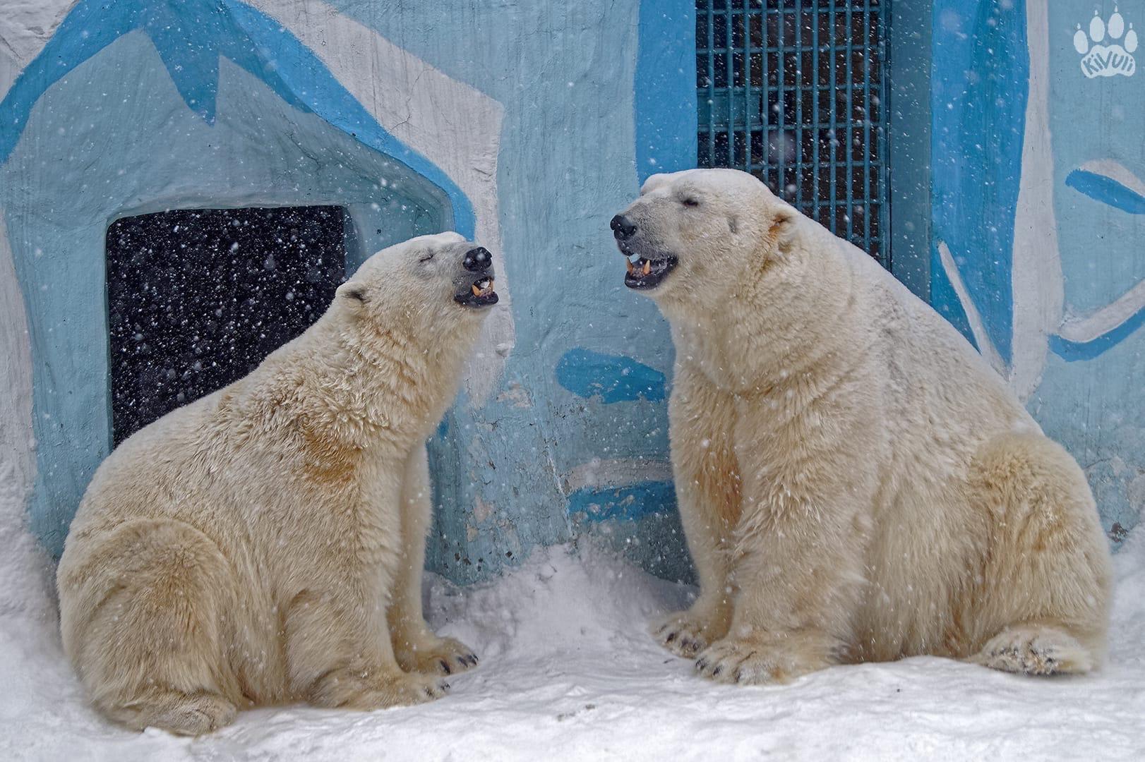фото Белые медведи Кай и Герда показали любовь в Новосибирском зоопарке 2