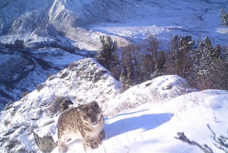 Фото Численность снежного барса резко упала в горах Алтая 2