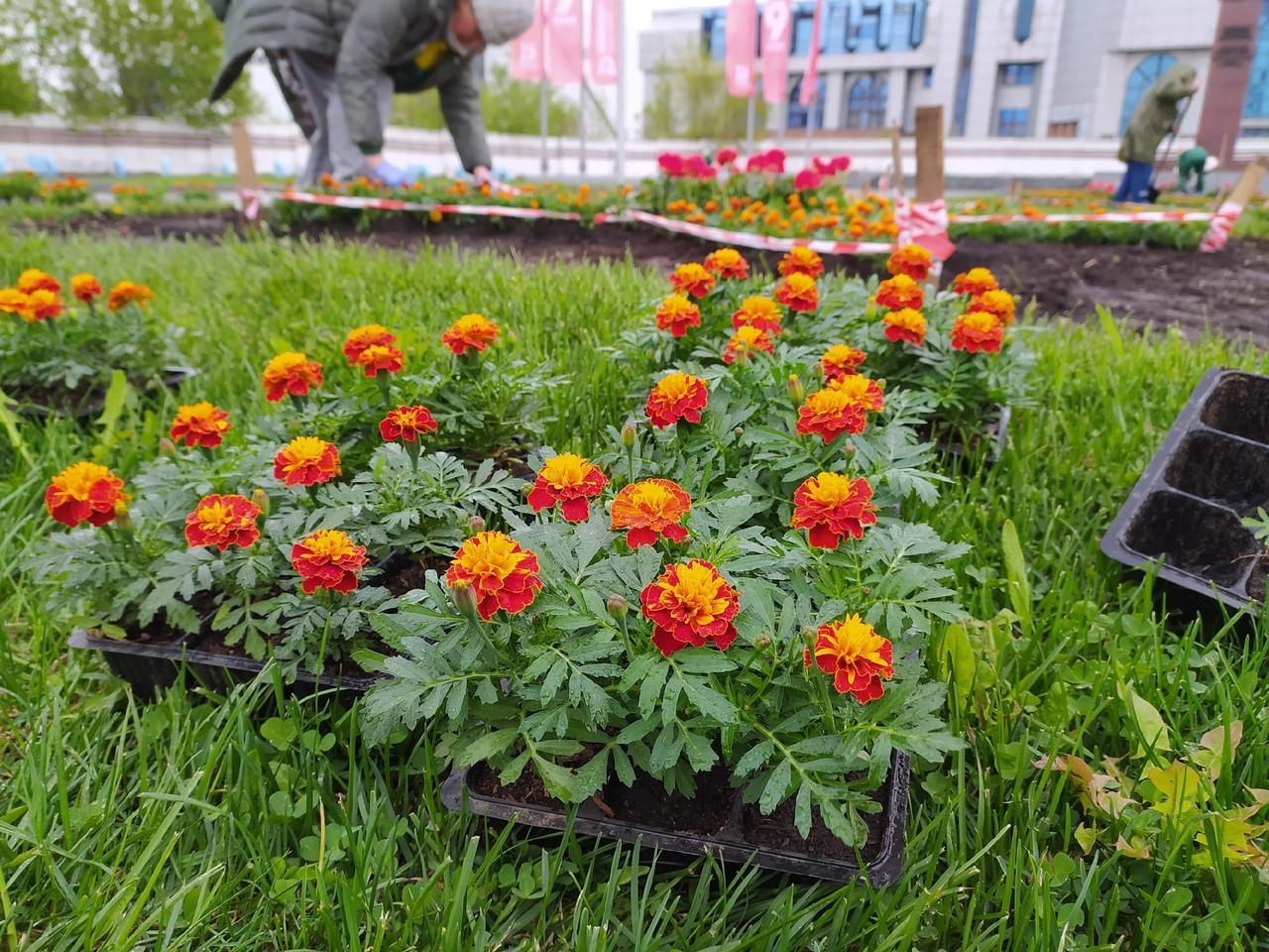 Фото В Новосибирске начали высаживать цветы на клумбах 2