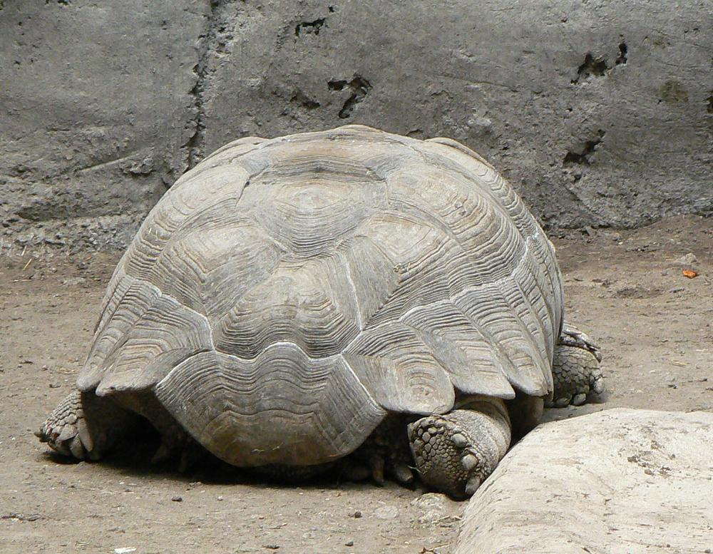 фото В Новосибирске африканскую 30-килограммовую черепаху продают за 90 тысяч рублей 2