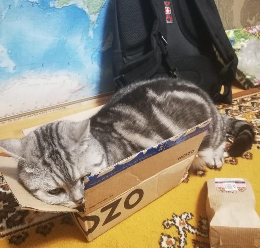 фото «Звук когтей, бешено скребущих по паркету»: как финалист конкурса «Главный котик Омска» превращается в дикого тигра и открывает охоту на людей 3