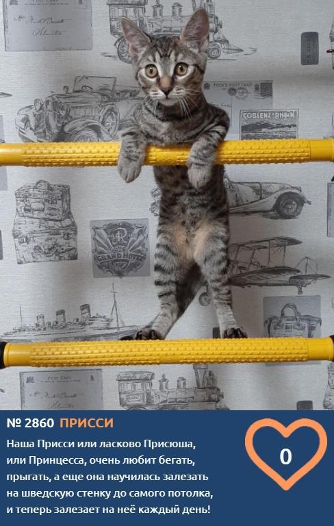 фото Акробатка Присси борется за голоса горожан в конкурсе «Главный котик Томска-2021» 2