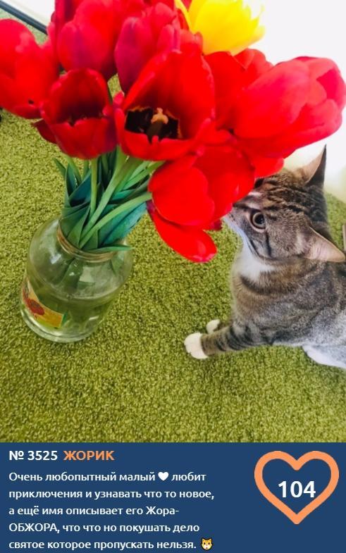 фото В конкурсе «Главный котик Омска-2021» на десятой неделе голосования лидирует Жорик 2