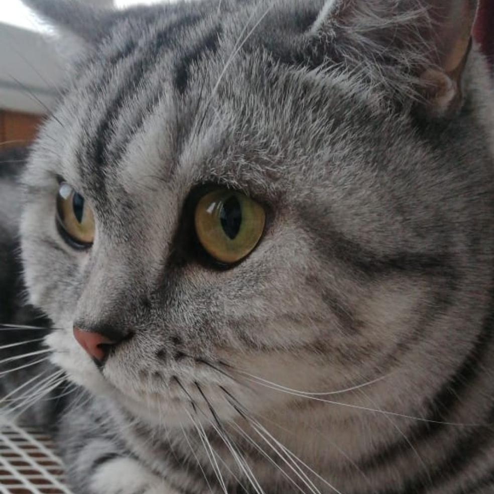 фото «Звук когтей, бешено скребущих по паркету»: как финалист конкурса «Главный котик Омска» превращается в дикого тигра и открывает охоту на людей 8