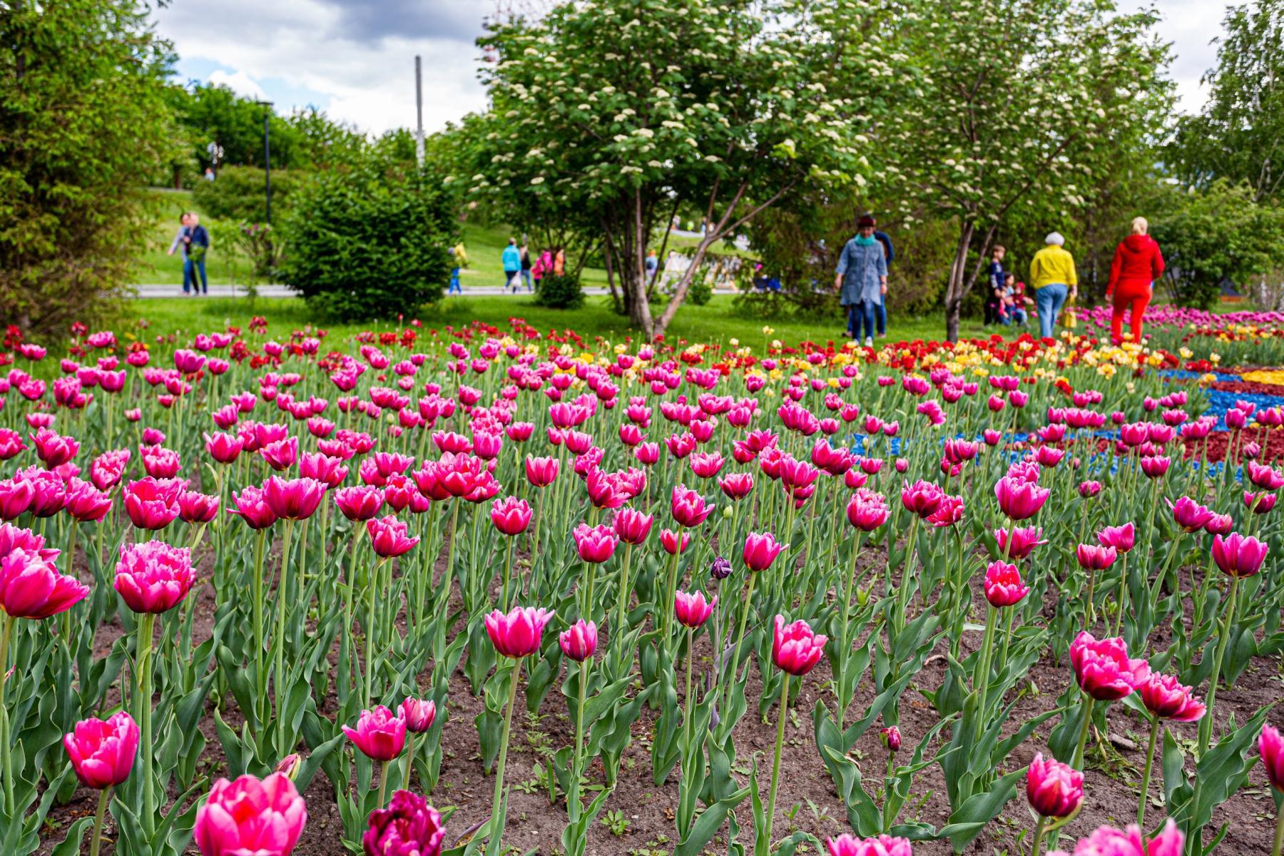 Фото Фестиваль тюльпанов открылся в Новосибирске 29 мая 5