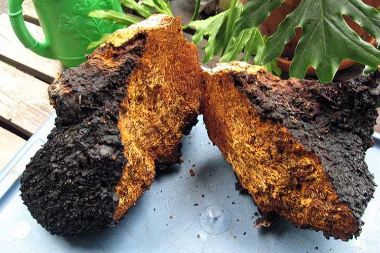 фото Учёные «Вектора» нашли гриб, убивающий коронавирус 2