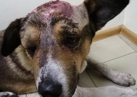 фото Пьяный хозяин избил собаку молотком – её будут спасать в ветклинике Новосибирска 2